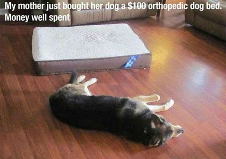 "37 Funny Animal Memes - ""My mother just bought her dog a $100 orthopedic dog bed. Money well spent."""