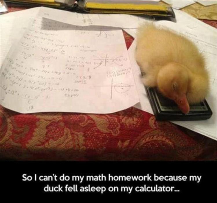 "37 Funny Animal Memes - ""So I can't do my math homework because my duck fell asleep on my calculator."""