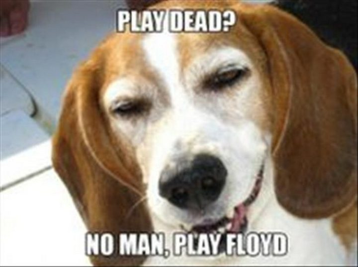 "27 Funny Animal Memes - ""Play Dead? No man, play Floyd."""