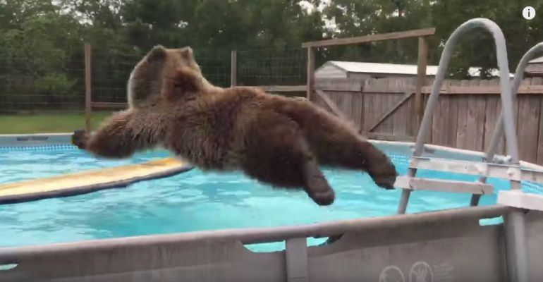 Bruiser Bear Enjoying a Refreshing Dive in His Swimming Pool.