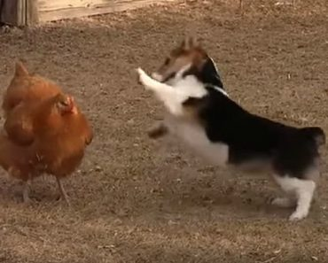 Epic Chicken Fight with a Corgi Is the Cutest Fight Ever!