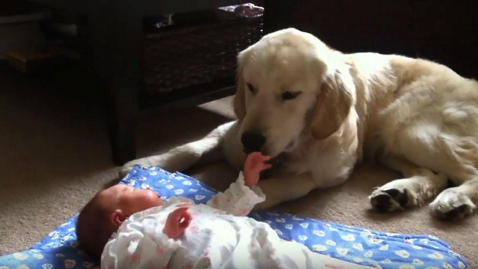 8-Month-Old Golden Retriever Puppy Babysits Newborn Baby Sister.