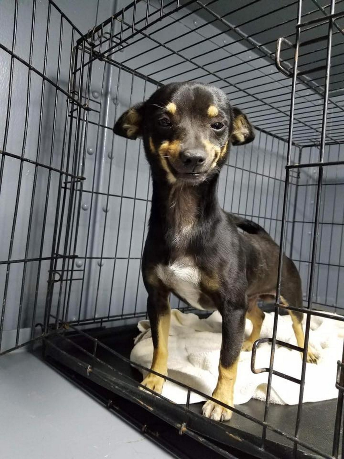 Found on the streets of Texas and brought toCity of Waller Animal Shelter and Rescue, Cheech has an adorable smile.
