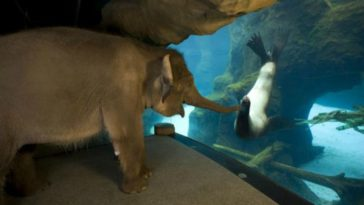 Chendra the Elephant Befriends Gus the Sea Lion at the Oregon Zoo.
