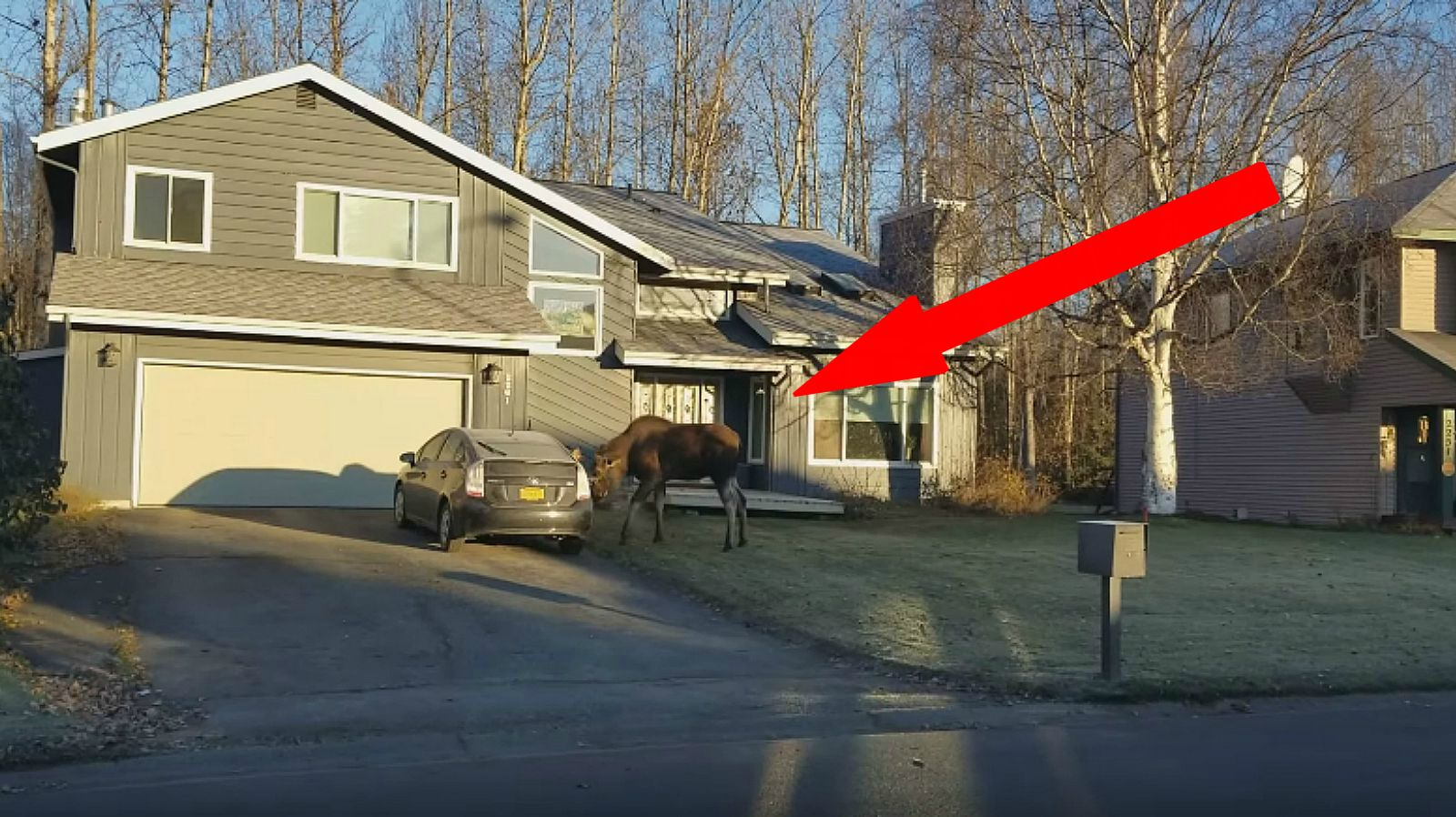 Young Moose Attacks a Prius and a Mailbox in Anchorage, Alaska