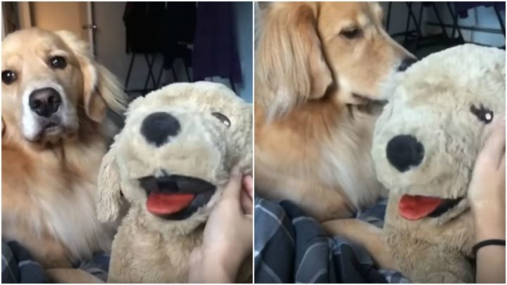 Sadie the Golden Retriever Gets Jealous When Her Human Pets a Stuffed Animal.