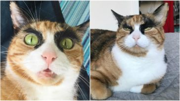 Calico Cat With Eyebrows Makes Her Look Like She's Judging You.