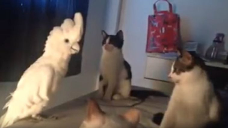 Parrot Meows Like a Cat to Blend in with a Group of Cats.