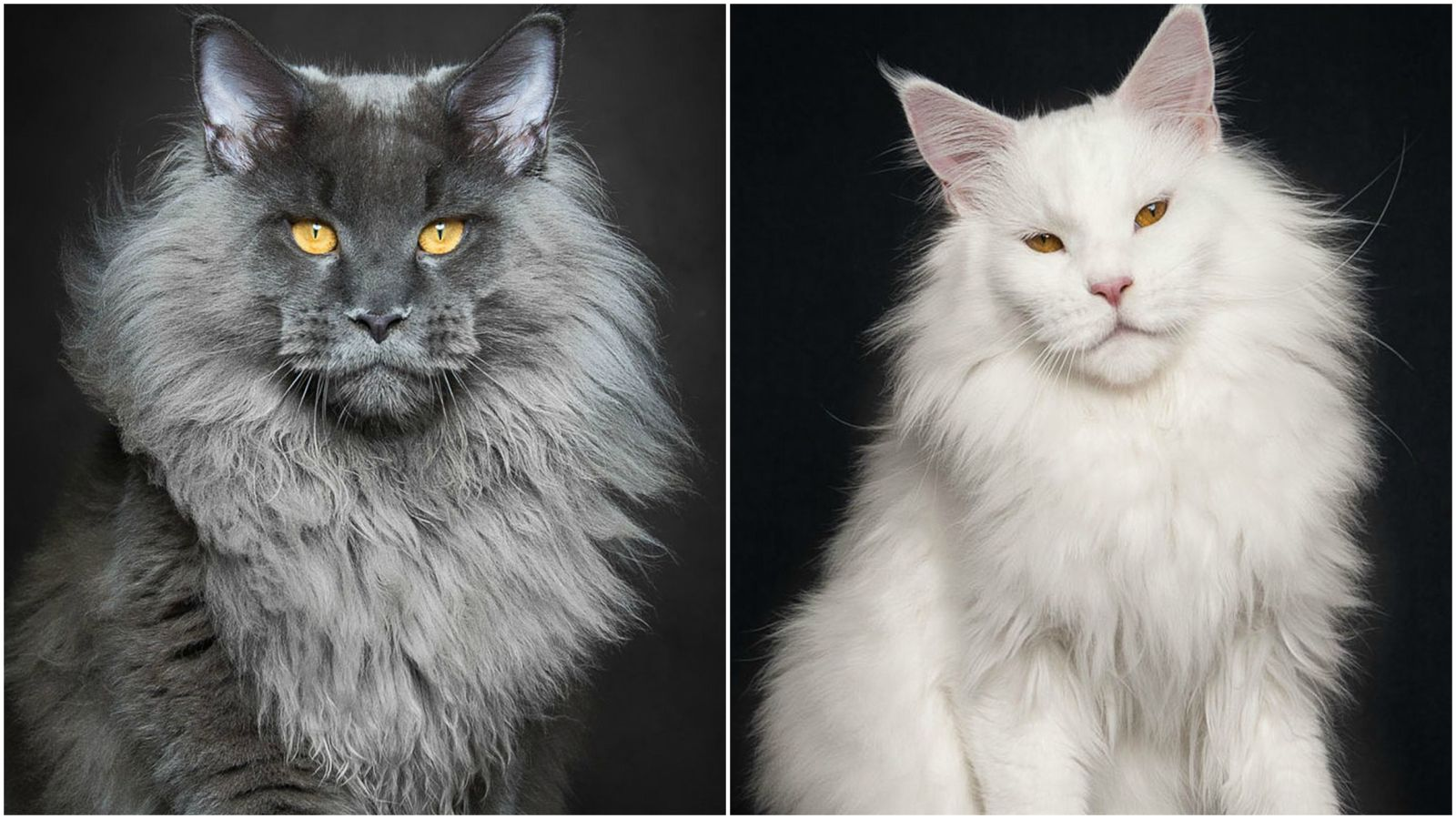 67 Amazing Pictures of Maine Coon Cats by Photographer Robert Sijka
