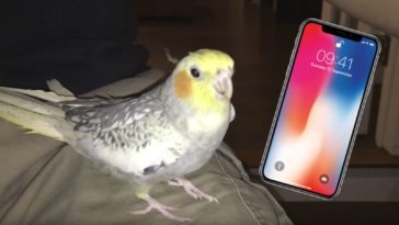 Pet Cockatiel Sings a Popular iPhone Ringtone When Upset.
