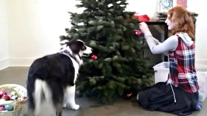 Secret the Dog Helping Set up the Christmas Tree with His Human