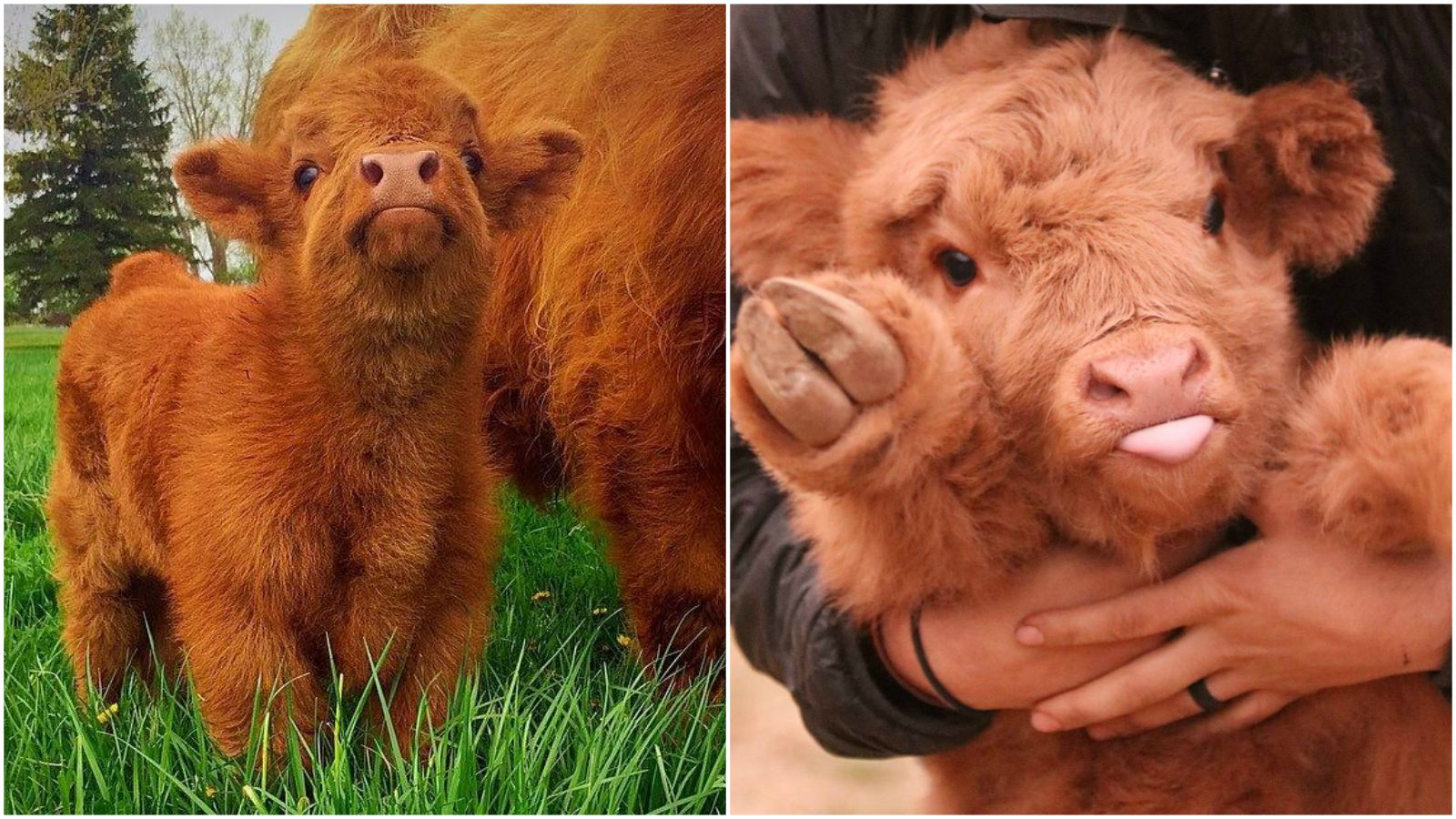 21 Highland Cattle Calf Photos to Bring a Smile to Your Day