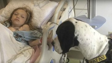 Great Dane Who Helps a Girl Walk Again Gets Best Day Ever