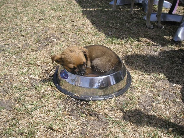 25 Puppies Asleep in Their Food Bowls - Taking a nap in the water bowl under the hot sun.