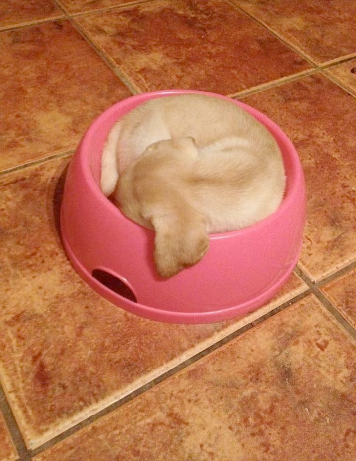 25 Puppies Asleep in Their Food Bowls - This little ball of fur fits in just right!