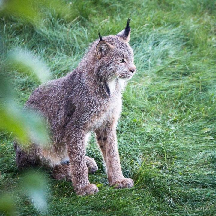 Proud mama lynx looking after her kittens while camouflaged behind some bushes.