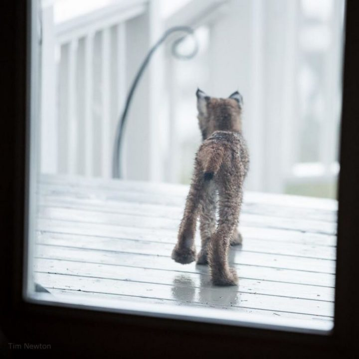 When photographer Tim Newton heard noises on his porch, he took a look and found a lynx kitten.