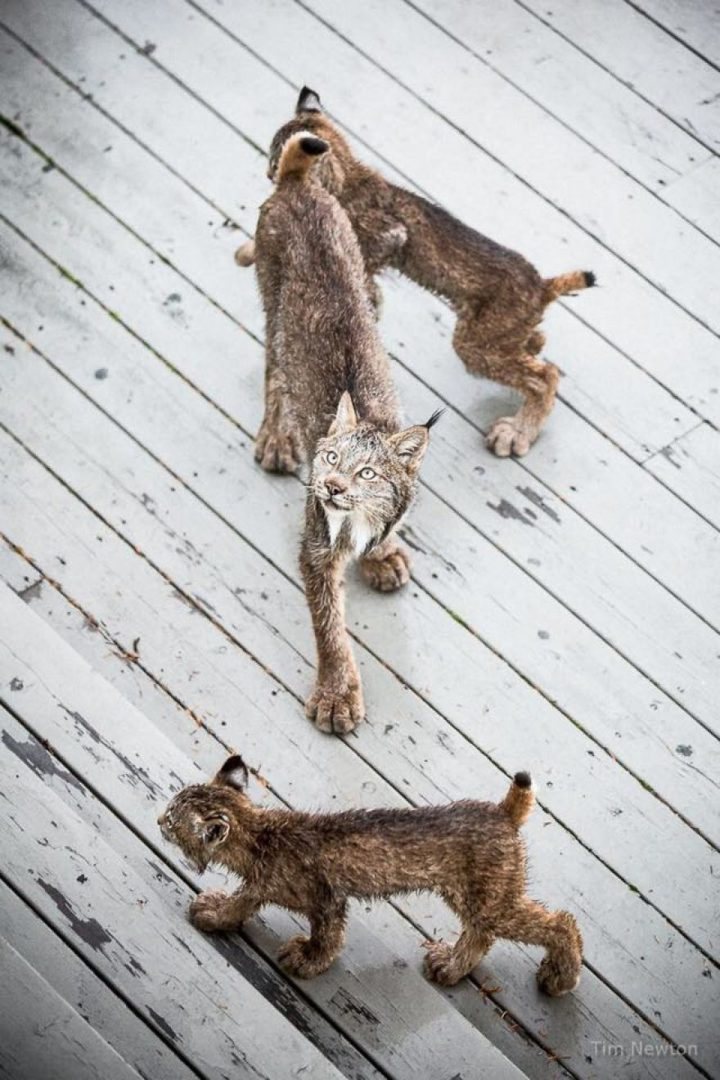 This mama lynx has her hands full with her 7 rambunctiouslittle kittens.