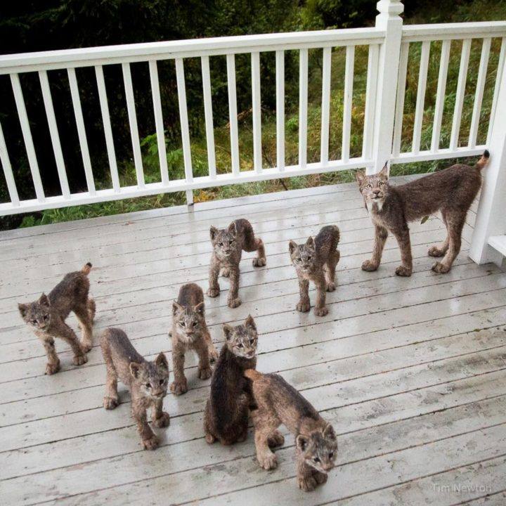 After a few minutes, she joined her lynx kittens on the porch which was a perfect opportunity for a family photo.