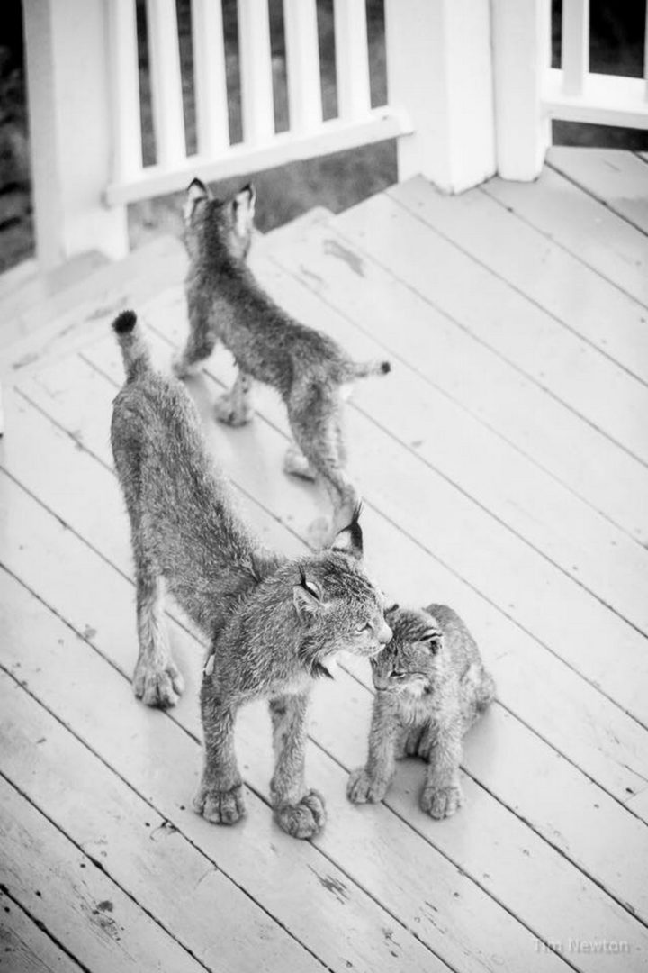 Such a precious and happy moment to share some time with a mama lynx and her family.
