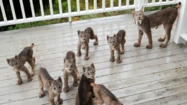 Alaskan Man Finds Mama Lynx and Her 7 Kittens Playing on His Porch.