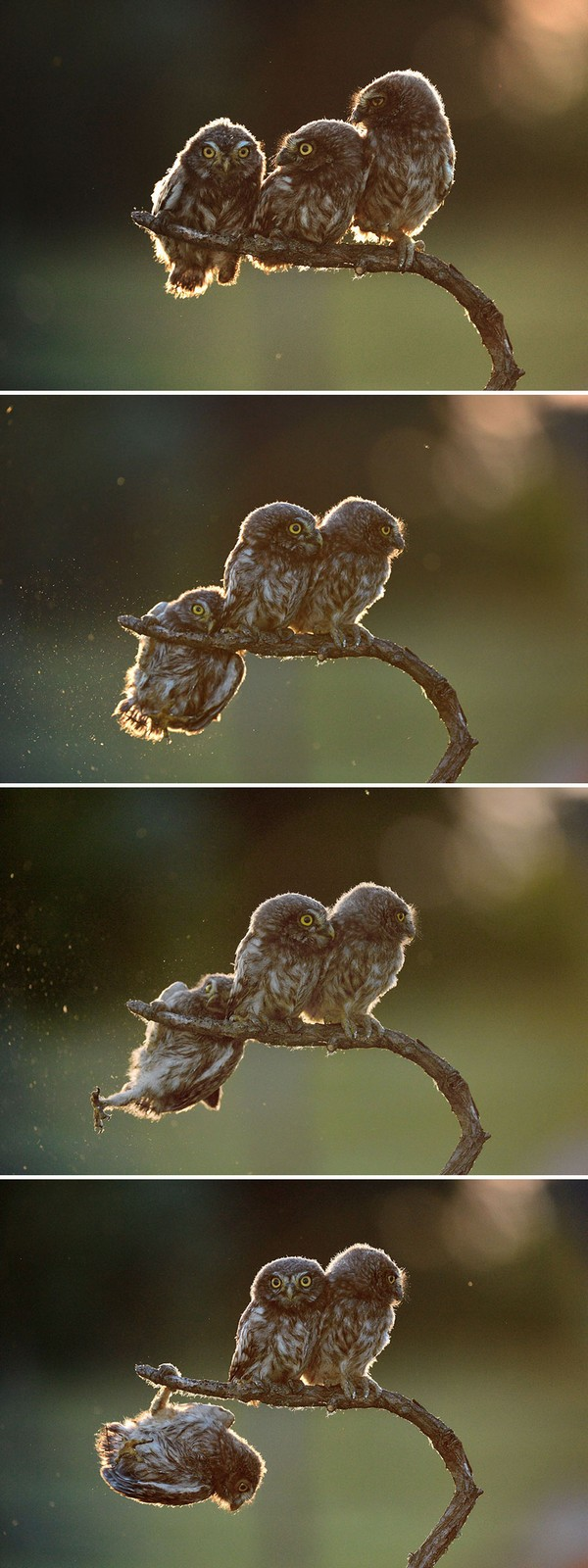 """2017 Comedy Wildlife Photography Award Winners - Overall Winner 2017 """"Help"""" And Winner Of Amazing Internet Portfolio Prize Tibor Kerccz For His Sequence Of 4 Owl Images."""