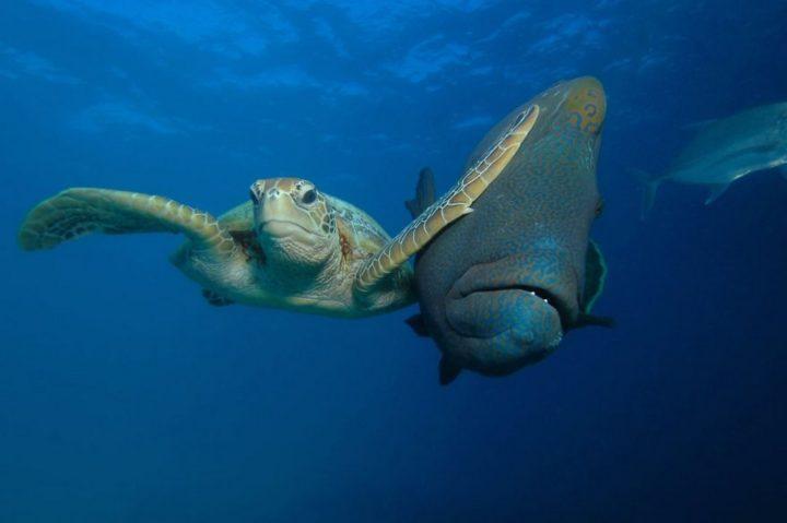 "2017 Comedy Wildlife Photography Award Winners - Winner Of The Padi Under The Sea Category ""Slap"" By Troy Mayne."
