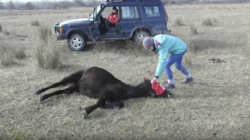Vet Removes Chains Around Horse's Legs.