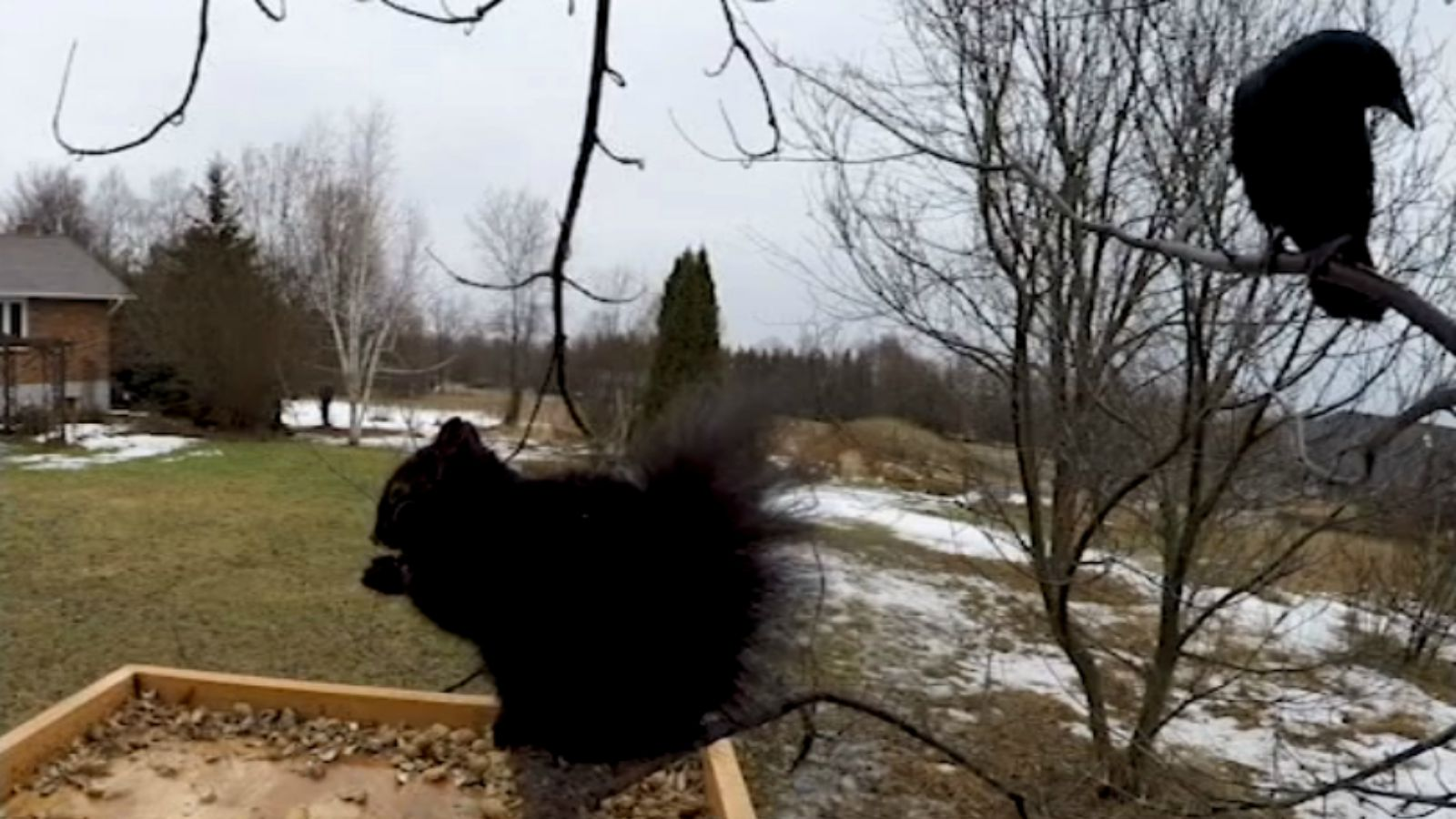 Wild Crow Speaks to Squirrel Eating Peanuts at a Bird Feeder. He Is Amazing!