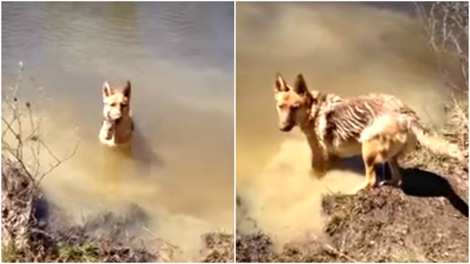 German Shepherd Throws a Tantrum When She Has to Stop Swimming.