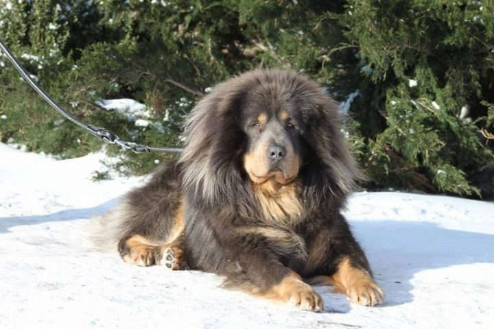 23 Rare Dog Breeds - Tibetan Mastiff.