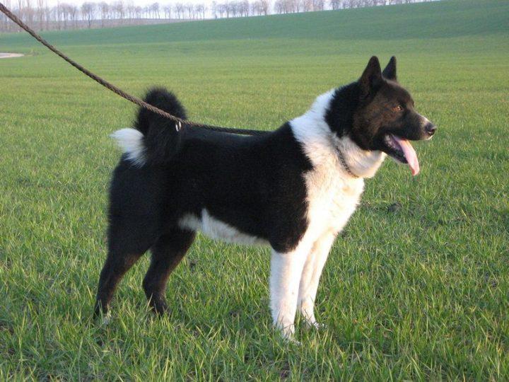 23 Rare Dog Breeds - Karelian Bear Dog.