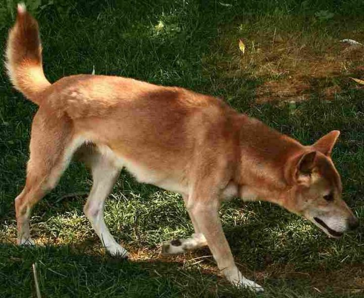 23 Rare Dog Breeds - New Guinea Singing Dog.