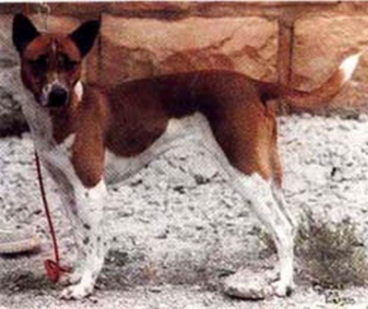23 Rare Dog Breeds - Telomian.