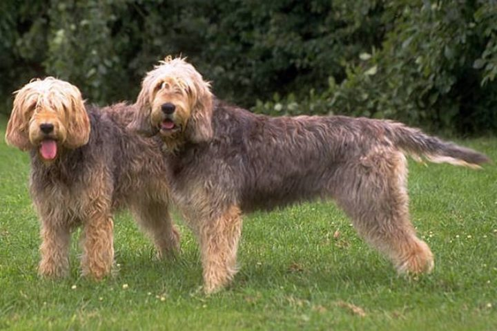 23 Rare Dog Breeds - Otterhound.