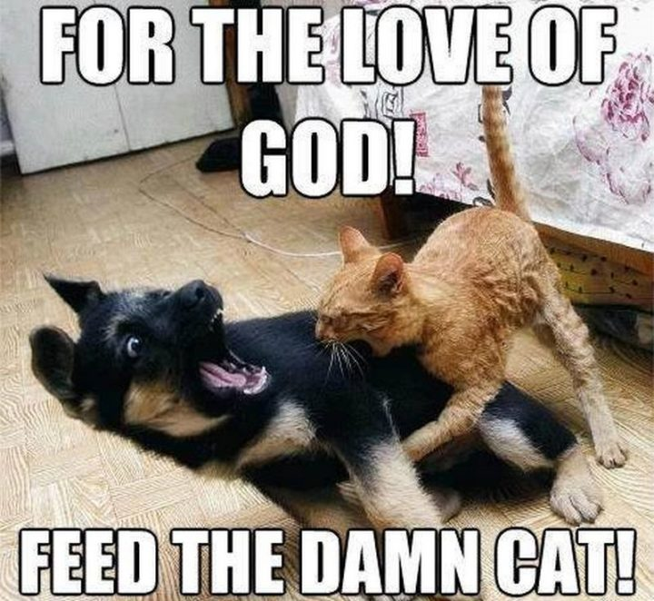 "55 Funny Cat Memes - ""For the love of god! Feed the damn cat!"""
