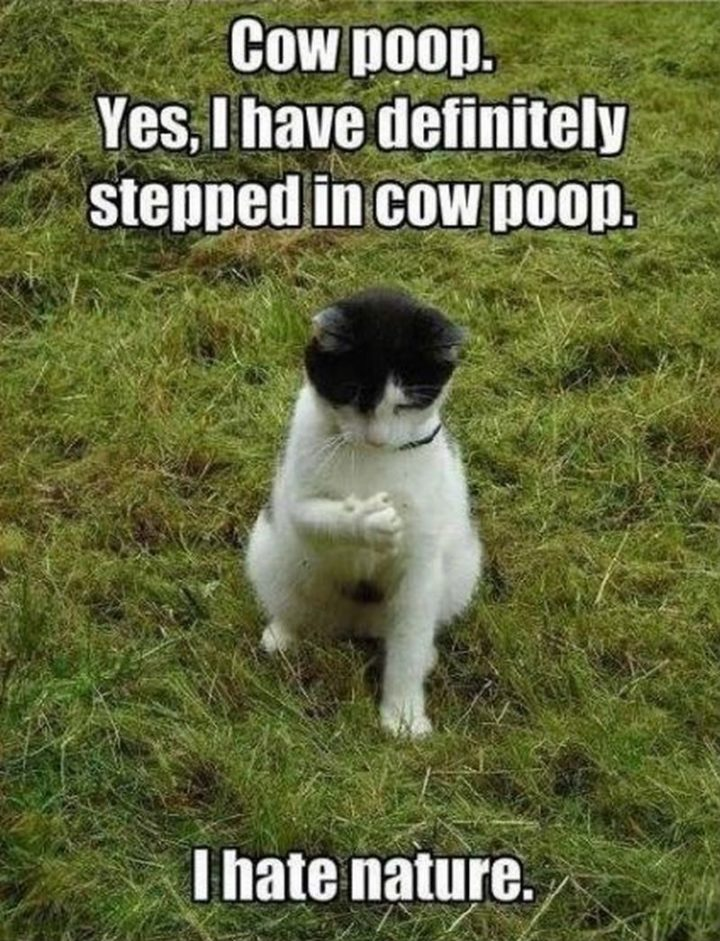 "55 Funny Cat Memes - ""Cow poop. Yes, I have definitely stepped in cow poop. I hate nature."""