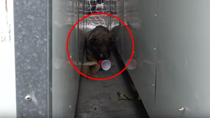 Homeless German Shepherd Cries Like a Human Before Being Rescued.