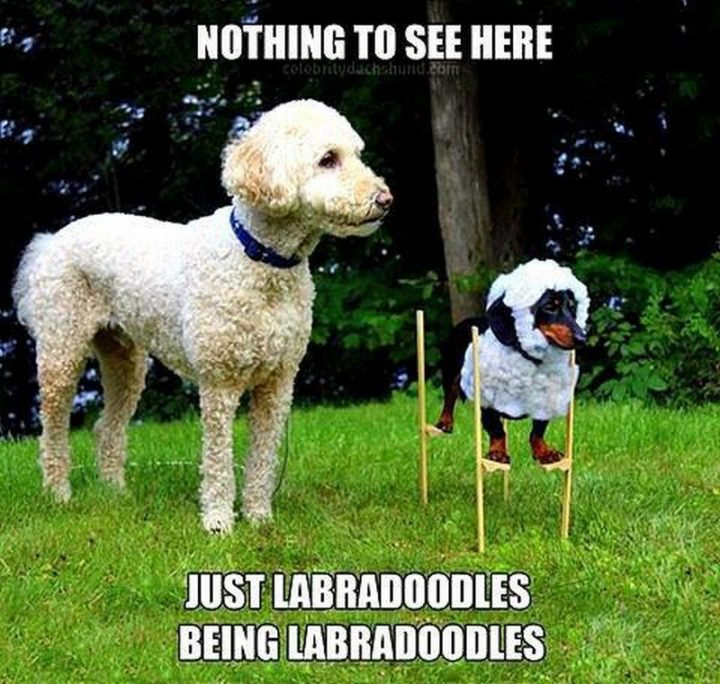 "101 best funny dog memes - ""Nothing to see here. Just labradoodles being labradoodles."""
