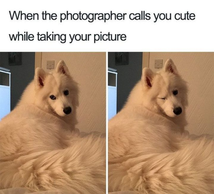 "101 best funny dog memes - ""When the photographer calls you cute while taking your picture."""