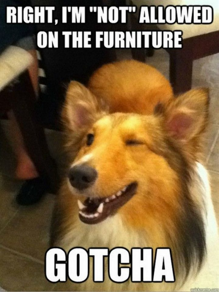 "101 best funny dog memes - ""Right, I'm ""not"" allowed on the furniture. Gotcha."""