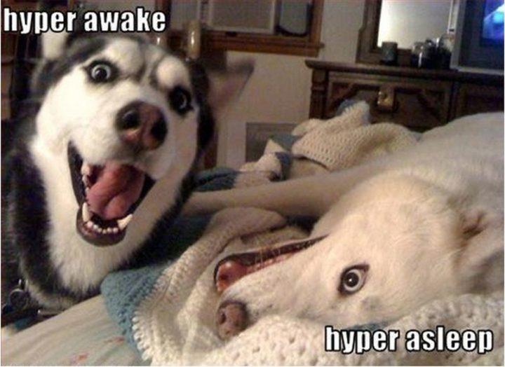 "101 best funny dog memes - ""Hyper awake. Hyper asleep."""