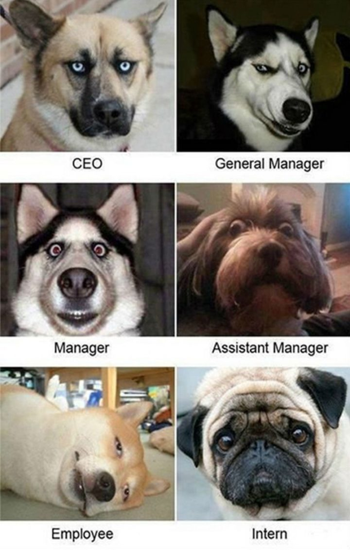 "101 best funny dog memes - ""CEO. General Manager. Manager. Assistant Manager. Employee. Intern."""