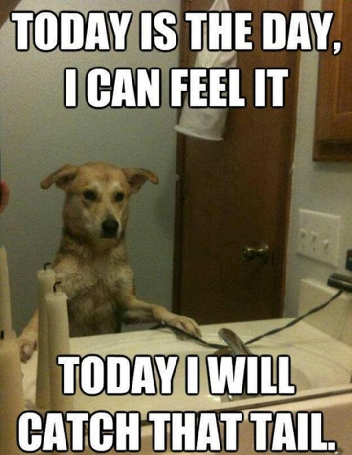 "101 best funny dog memes - ""Today is the day, I can feel it. Today I will catch that tail."""