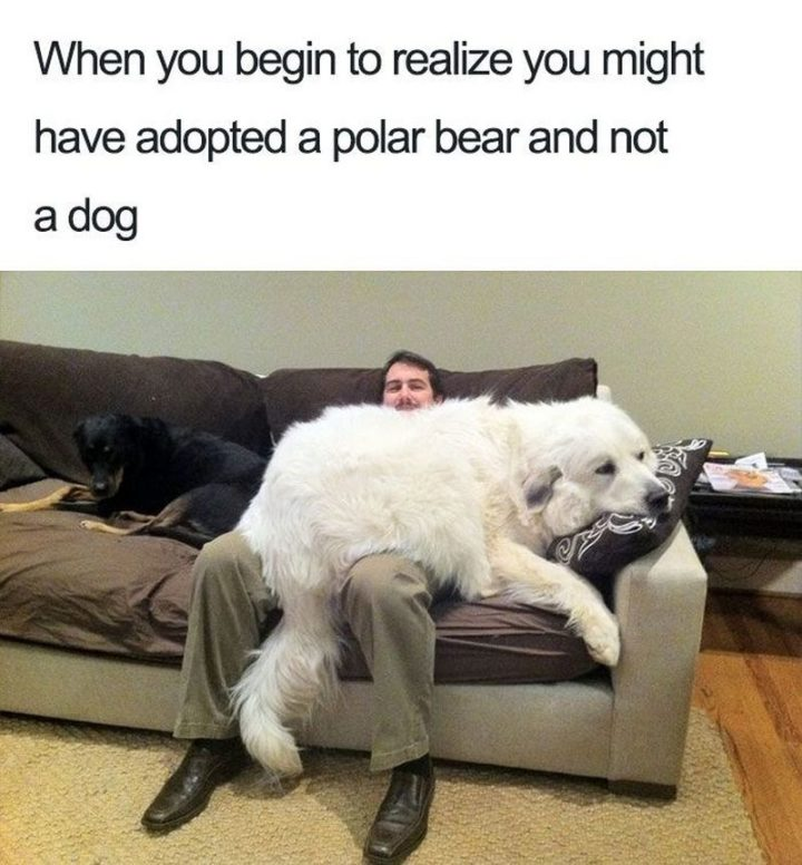 "101 best funny dog memes - ""When you begin to realize you might have adopted a polar bear and not a dog."""