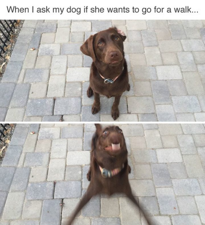 "101 best funny dog memes - ""When I ask my dog if she wants to go for a walk..."""