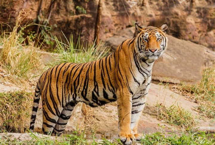 27 Amazing Animal Facts - Tigers don't only have striped fur, they have striped skin.