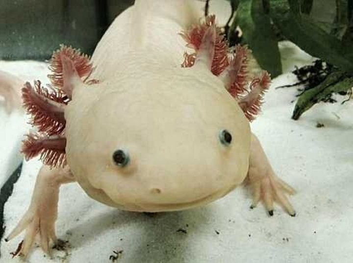 27 Amazing Animal Facts - The axolotl can regenerate almost every body part it has. Even its spine.