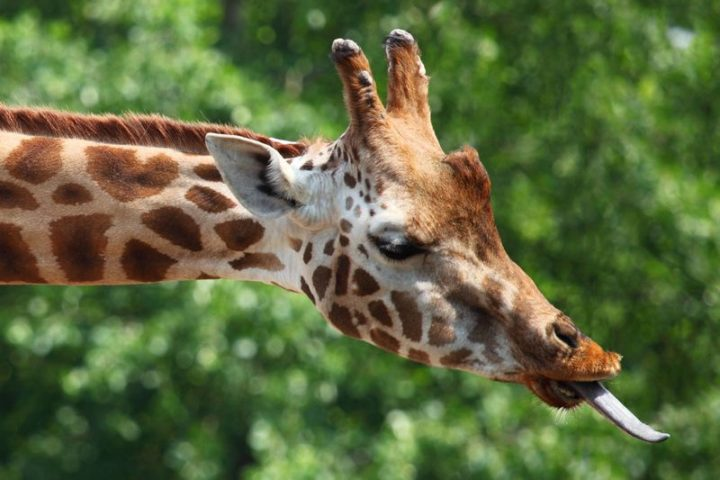 27 Amazing Animal Facts - Giraffe tongues are black. Scientists believe this is so that they don't get sunburnt when they eat.