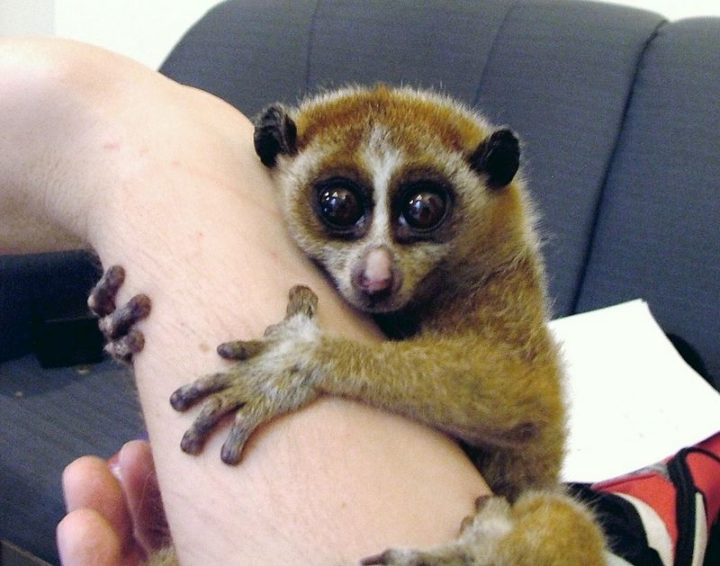 27 Amazing Animal Facts - While cute, the slow loris is the only primate to have a venomous bite.